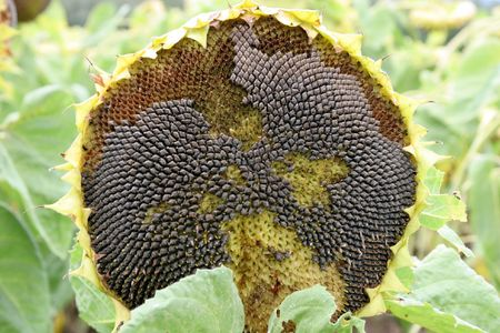 dying sunflower Stock Photo