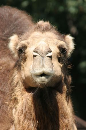 stare: camel stare, portrait Stock Photo