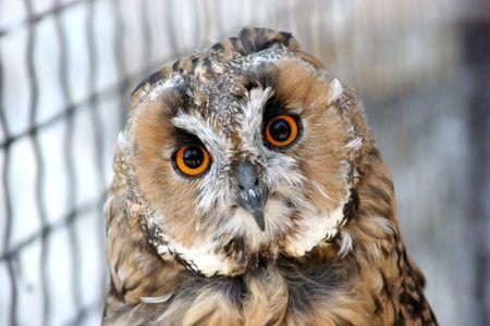 stared: owl