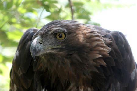 aquila: golden eagle ( aquila chrysaetos ) Stock Photo