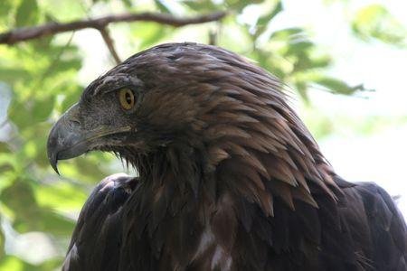 chrysaetos: golden eagle ( aquila chrysaetos ) Stock Photo