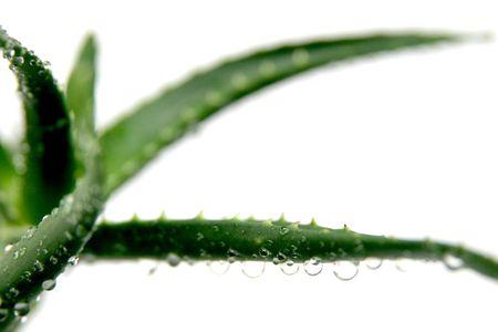 aloe vera with drops in closeup Stock Photo - 713389