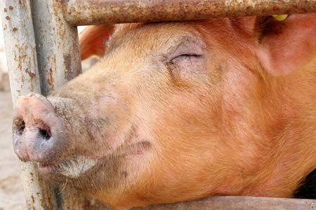 grunter: pig in closeup Stock Photo