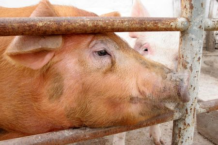 grunter: pigs in a fence