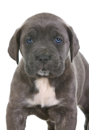 weeks: beautiful young puppy italian mastiff cane corso ( 5 weeks )