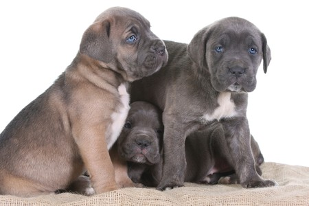beautiful young puppy italian mastiff cane corso ( 5 weeks ) photo