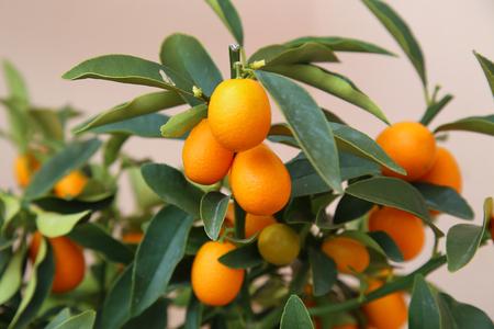 naranja arbol: detalles de naranja kumquat en el árbol - símbolo de año nuevo lunar vietnamita Foto de archivo