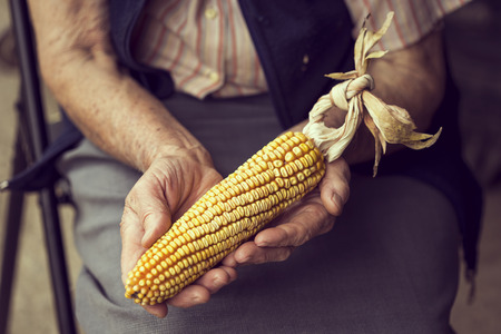 Close up of wrinkled womans hands holding a corn cob after harvesting. Selective focus Stock Photo