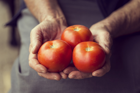 Detail of wrinkled womans hands holding a handful of red ripe tomatoes. Selective focus