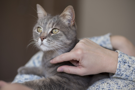 Beautiful tabby cat being held and cuddled by its owner, enjoying and purring Stock Photo