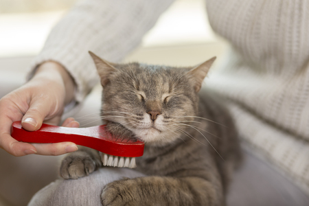 Tabby cat lying in her owner's lap and enjoying while being brushed and combed. Selective focus 版權商用圖片 - 75266585