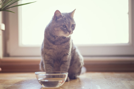 Beautiful tabby cat sitting next to a bowl of water, placed on the floor next to the living room window. Selective focus Stockfoto