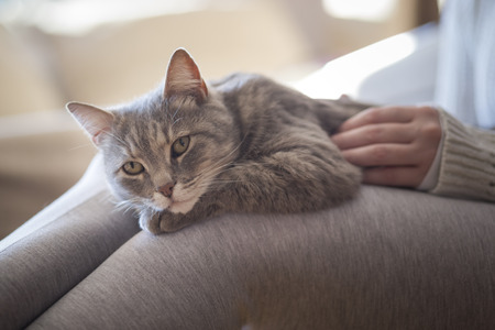 Furry tabby cat lying on its owner's lap, enjoying being cuddled and purring. Selective focus