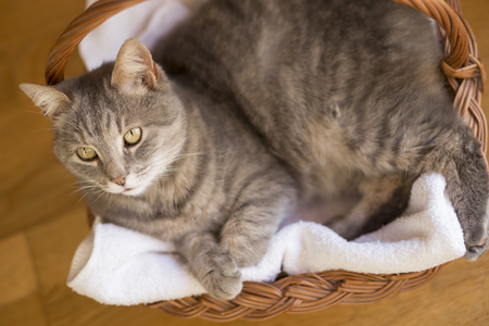 cola mujer: Top view of a beautiful tabby cat lying in a basket on its blanket next to a living room window. Selective focus Foto de archivo