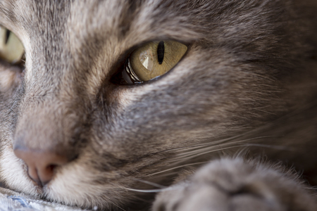 Detail of a beautiful soft tabby cat lying on its owners shoulder and purring. Selective focus
