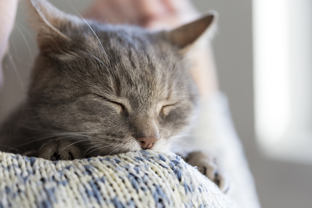 gray cat: Detail of a beautiful soft tabby cat lying on its owners shoulder and purring. Selective focus