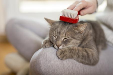 Kot tabby leży na kolanach swojego właściciela i cieszy się, gdy jest szczotkowany i czesany. Selektywne fokus Zdjęcie Seryjne
