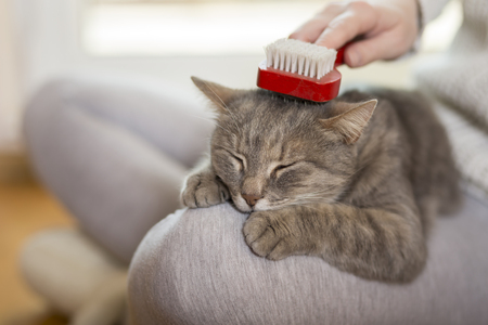 Tabby cat lying in her owner's lap and enjoying while being brushed and combed. Selective focus