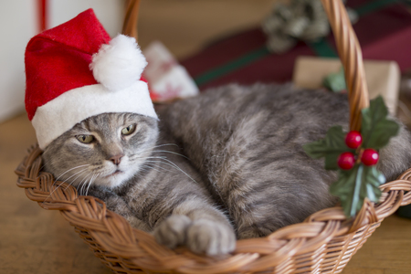 Beautiful tabby cat wearing Santas hat, lying in a basket underneath the Christmas tree with bunch of presents Stock Photo