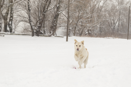 Beautiful labrador dog running and playing in the snow Stock Photo