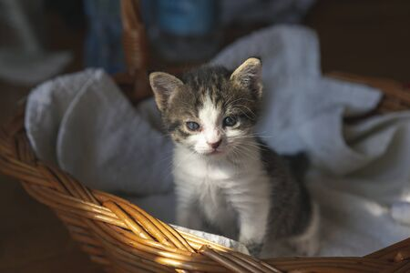 Adorable grey and white kitten sitting in a wicker basket, sleepy
