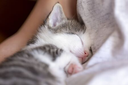 Detail of a cute baby cat sleeping  in its owners lap. Domestic kitten taking a nap