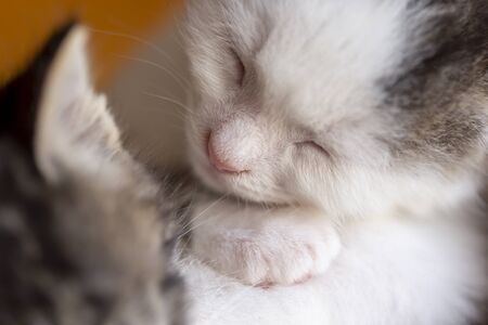 Two cute white and grey baby kittens taking a nap in a wicker basket