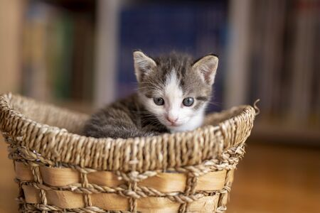 Adorable grey and white kitten sitting in a wicker basket, sleepy Stockfoto - 124739543