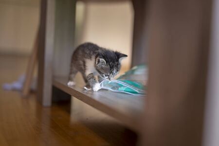 Playful kitten exploring its new home, climbing the coffee table shelf