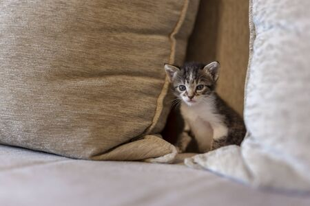 Playful kitten playing on the sofa, hiding between cushions and peeking
