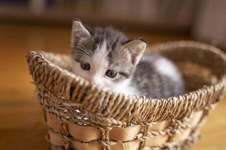 Adorable grey and white kitten lying in a wicker basket, sleepy