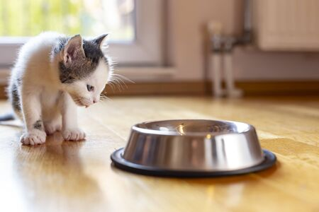 Beautiful little kitten licking milk from a bowl placed on the living room floor next to a window