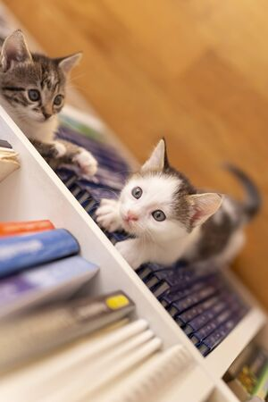 Top view of two adorable little kittens playing around book shelves in the living room, climbing, hiding and peeking 写真素材