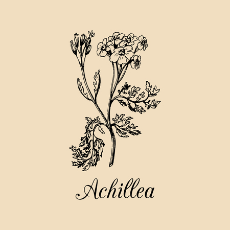 yarrow: Vector yarrow illustration. Hand drawn Achillea branch sketch. Milfoil plant background. Officinalis,cosmetic herb logo.