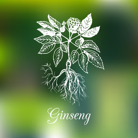 Vector ginseng illustration on blurred background. Botanical drawing in engraving style. Green organic, eco herb.