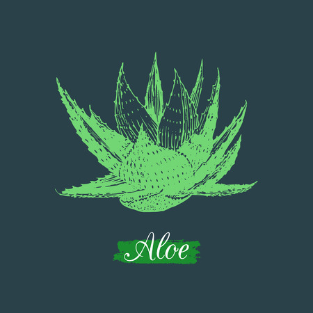Vector aloe illustration isolated. Hand drawn botanical sketch of agave. Cosmetic, medicinal herb logo. Illustration