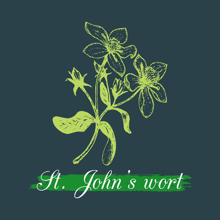 Vector hand drawn of St. Johns Wort branch illustration with flowers. Illustration