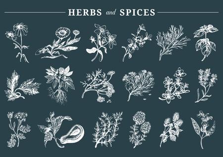 Rę cznie rysowane officinalis, lecznicze, kosmetyczne rośliny, ziołai zestaw przypraw.
