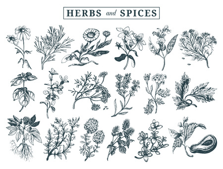 yarrow: Hand drawn officinalis, medicinal, cosmetic plants, herbs and spices set.
