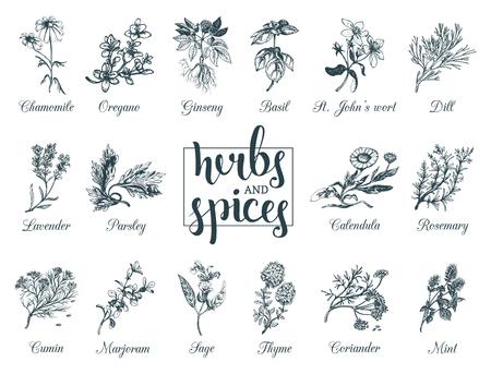 Hierbas y especias. Mano dibujado officinalis, medicinales, plantas cosméticas. Ilustraciones botánicas para etiquetas. Tarjetas, etc.