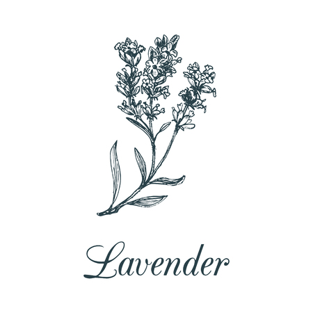 Vector lavender branch illustration. Hand drawn botanical sketch of plant in engraving style. Organic herb isolated.