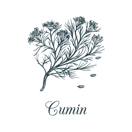 Vector cumin with seeds illustration. Culinary aromatic spice sketch. Botanical drawing of caraway in engraving style. Çizim