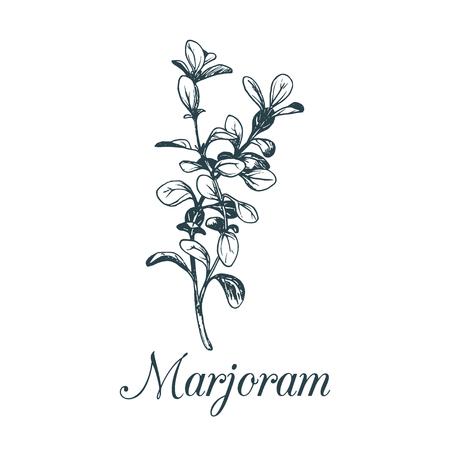 Illustrazione della maggiorana di vettore isolata Pianta botanica schizzata della mano per le etichette Carta con spezia che assorbe lo stile dell'incisione.