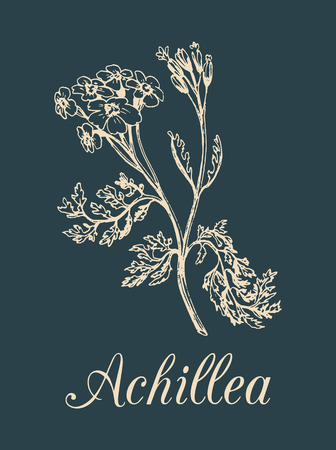 yarrow: Vector yarrow illustration. Hand drawn Achillea sketch. Milfoil plant background. Officinalis, cosmetic herb label etc.
