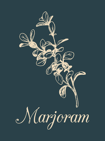 flavor: Vector marjoram illustration isolated. Hand sketched botanical plant. Card with spice drawing in engraving style.