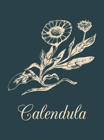 officinalis: Vector calendula illustration with flowers. Hand drawn botanical sketch of marigold. Drawing in engraving style. Illustration