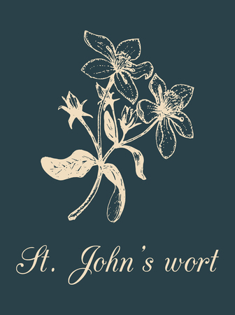 Vector St. Johns Wort branch illustration with flowers. Hand drawn botanical sketch of officinalis plant. Medicinal herb