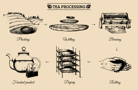 Vector infographics with illustrations of tea processing. Hand sketched scheme of authentic tea production Çizim