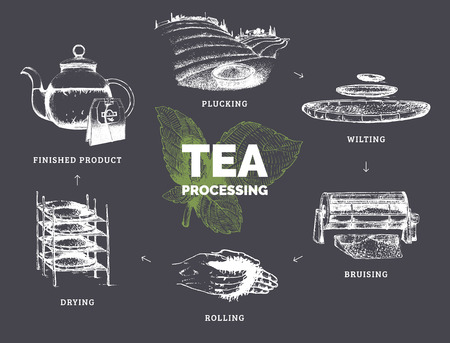 oxidation: Vector infographics with illustrations of tea processing. Hand sketched scheme of authentic tea production Illustration