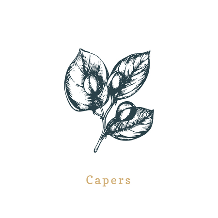 Vector capers sketch. Drawn spice herb. Botanical illustration of organic, eco plant. Used for farm sticker, shop label.